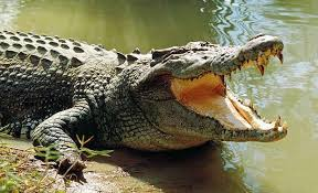 Crocodile invades tent and drags man 15 metres long