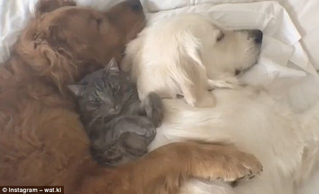 Pets  naptime! Watch  two dogs having a snooze with a cat between them (Video)