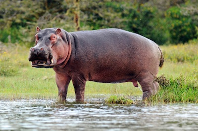 Escaped Hippopotamus Causes Chaos in SpanishTown